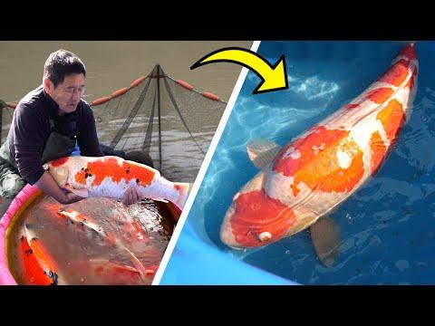 JUMBO KOI FISH! – Shintaro Koi Harvest Japan