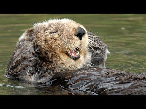 Live Sea Otter Cam – Monterey Bay Aquarium
