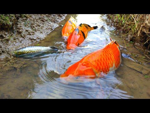 Finding Big Koi fish, Koki fish, Ornamental fish, Gold fish, Freshwater fish, Sea fish – Part225