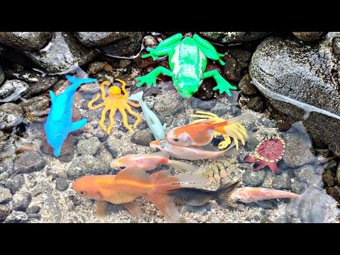 Finding Koi Fish, Chef Fish, Ornamental Fish, Shark, Whale, Octopus, Crab, Turtle, Part152