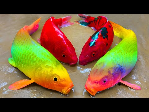 Black Spotted Red Fish | Stop Motion ASMR Experiment | Rainbow Colorful Koi Carp Eating American Eel