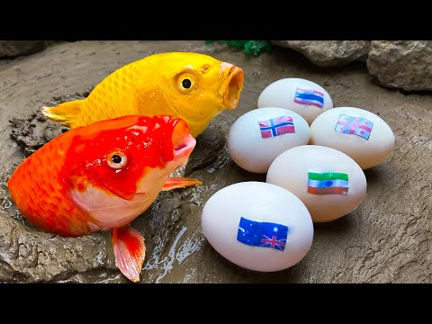 Strongest Koi Fish – Stop Motion Relaxing Unbelievable Catfish, Eel Egg, Seafood Catching by Cuckoo