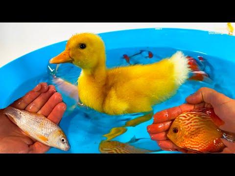 Duckling, Goldfish, KOI Fish – satisfying animals videos