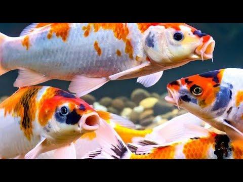 ഞങ്ങളും വാങ്ങി japanese koi carp fish    Unboxing Japanese Koi Carp Fish    Sami's Cooking World