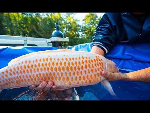Top 8 Rare Koi Fish Colors | Beautiful Koi Varieties