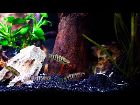 A Cool Water Nano Aquascape for Some Great Fish!