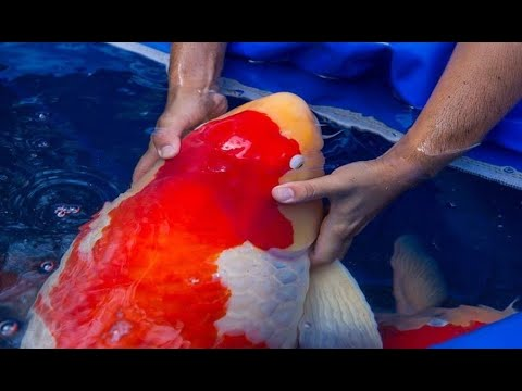 SUPER JUMBO KOI! The Most Expensive Koi Fish in Japan Koi Farm