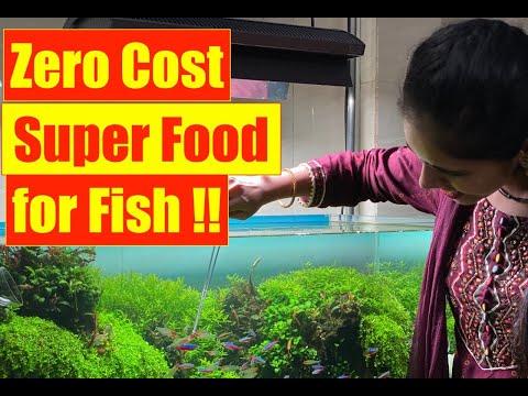 Zero Cost   Super Food for All Aquarium Fish   Earthworms   Mayur Dev's Fish Keeping Tips HD 1080p