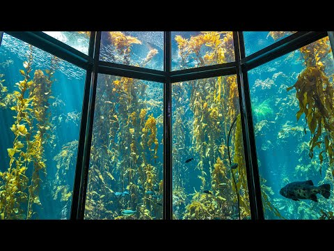 Find Some Relaxocean With The Kelp Forest Cam | Monterey Bay Aquarium Live Kelp Forest Cam