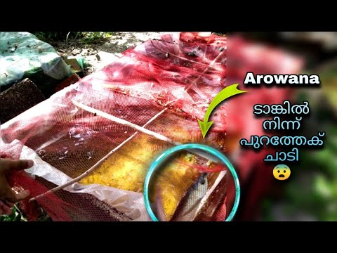 Saved Huge Loss 'AROWANA FISH'  in Natural pond |Monster Fishes |Legendary Fins