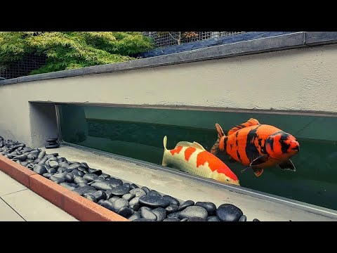 Massive Outdoor Koi Fish Tank! Amazing Time With Jumbo Koi Pond