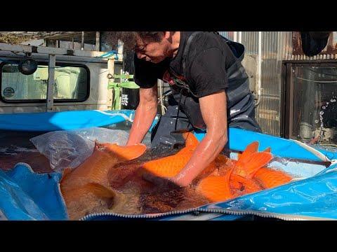 Jumbo Koi Fish Harvest! Expensive Koi Fish in Japan Koi Farm
