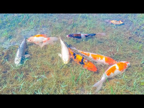 Wow Very Nice Beautiful Japan KOi Fish IN Lake, Lucky Day Found a lot of fish