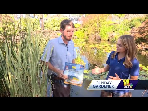 Sunday Gardener: Prepping pond fish for winter