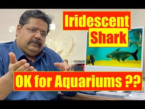 Iridescent Shark | Pangasius Catfish | Aquarium Shark fish | Mayur Dev Aquascaper | Fish keeping HD