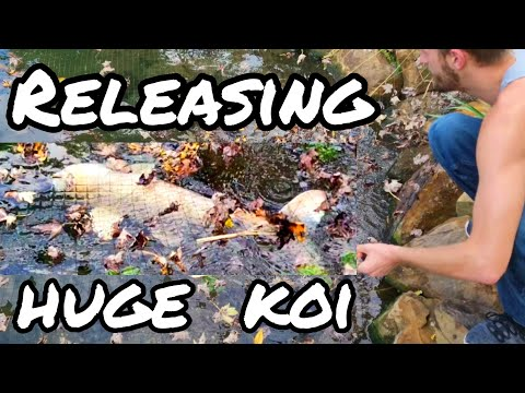 Huge KOI finally going into the pond – OHIO FISH RESCUE